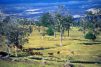 Paniolo (cowboys) herding cattle on the Hualalai ranch, with a lava field in the background