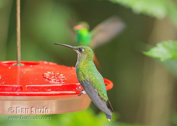 Female green-crowned brilliant hummingbird, Heliodoxa jacula, perched on a feeder at San Jorge Eco-Lodge, Milpe, Ecuador