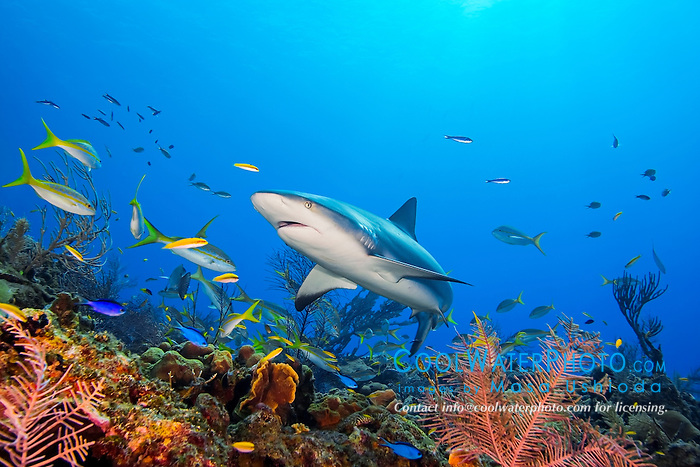 Caribbean reef shark, Carcharhinus perezi, swimming among reef fish over pristine coral reef, West End, Grand Bahama, Bahamas, Caribbean Sea, Atlantic Ocean