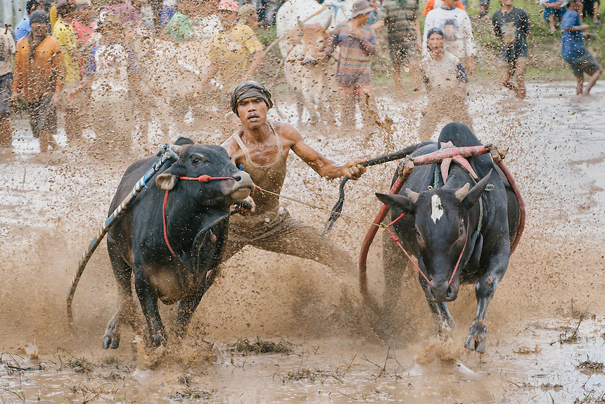 A rider spurs his bulls during the race.
