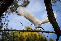 A Snowy egret doing some nest mending flies among the branches with a twig in it bill.