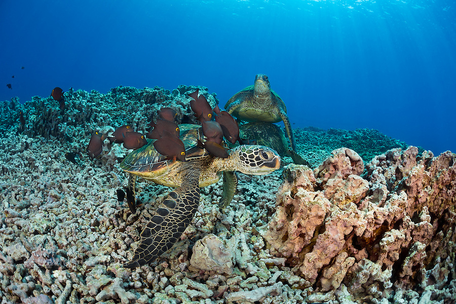 These green sea turtles, Chelonia mydas, an endangered species, are having thier shells cleaned by a school of goldring surgeonfish, Ctenochaetus strigosus, off Maui, Hawaii.