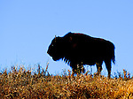Bison bull in silhouette in Lamar Valley.