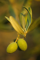 Olive tree (Olea europea)<br /> Sardinia, Italy