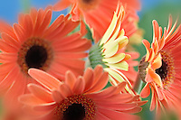 Gerbera Flower close up.