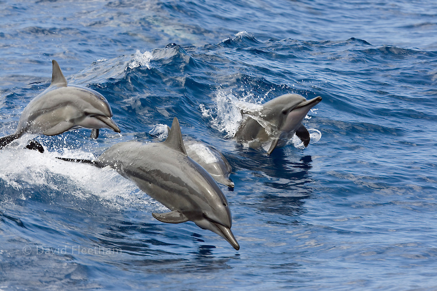 Spinner dolphin, Stenella longirostris, leap into the Pacific air at the same time, Hawaii.