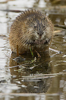 Muskrat eating green cattail shutes in an icy pond