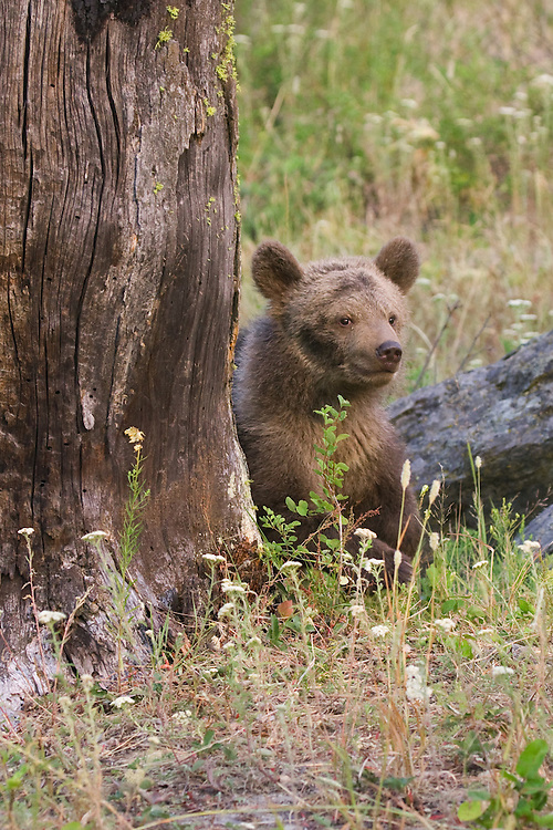 Grizzly bear cub walking around an old tree - CA