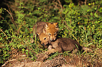 Gray wolf pups (Canis lupus).  June