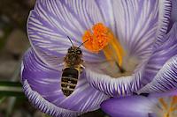 Honigbiene, Honig-Biene, Biene, Apis mellifera, Apis mellifica, im Flug, Anflug auf Blüte, Blütenbesuch auf Krokus, Nektarsuche, Blütenbestäubung, honey bee, hive bee