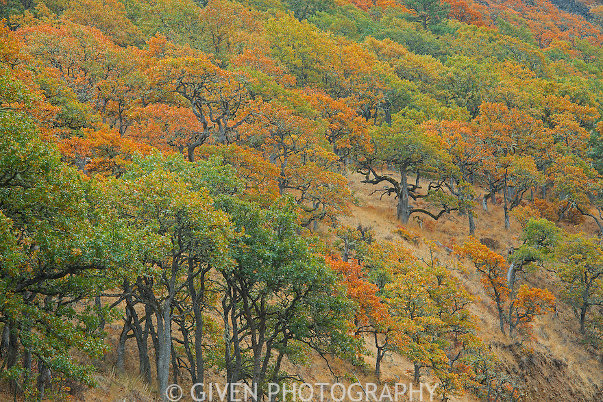 Live Oak trees in the Klickitat River Valley, Washington