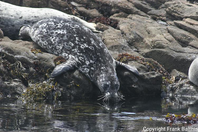 Harbor seal at Pebble Beach