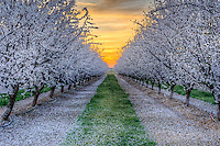 A glorious sunset over a central valley almond orchard in late spring