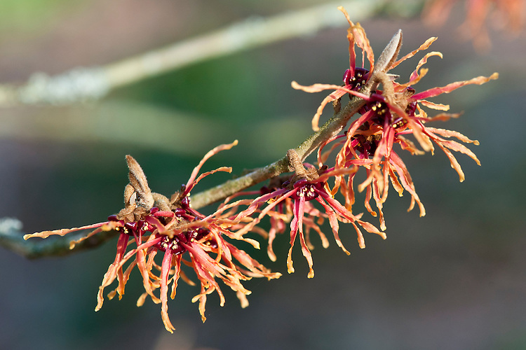 Witch hazel (Hamamelis x intermedia 'Magic Fire'), end January.