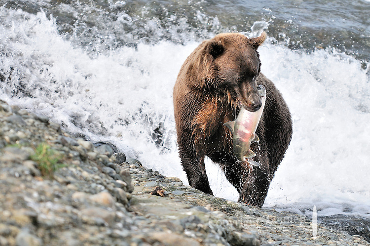 A brown bear gets ready to eat a nice-looking salmon it caught at the McNeil River Falls,  in Alaska's McNeil River State Game Sanctuary.