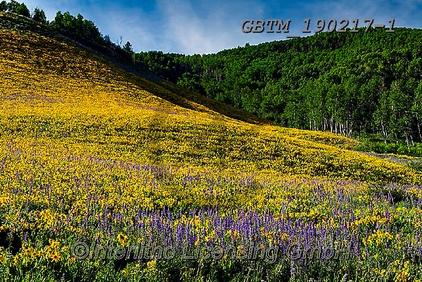 Tom Mackie, LANDSCAPES, LANDSCHAFTEN, PAISAJES, photos,+America, American, Colorado, Crested Butte, North America, Tom Mackie, USA, beautiful, dramatic outdoors, flower, flowers, hi+ll, hills, hillside, horizontal, horizontals, landscape, landscapes, larkspur, mules ear sunflower, natural landscape, scener+y, scenic, wildflower, wildflowers, yellow,America, American, Colorado, Crested Butte, North America, Tom Mackie, USA, beauti+ful, dramatic outdoors, flower, flowers, hill, hills, hillside, horizontal, horizontals, landscape, landscapes, larkspur, mul+,GBTM190217-1,#l#, EVERYDAY