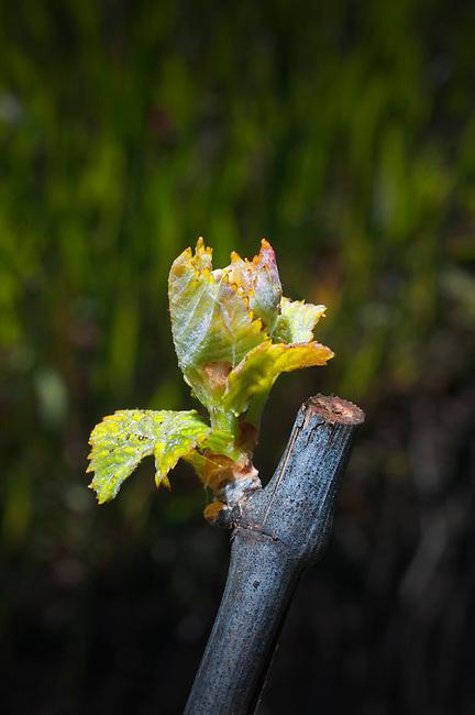 Bud Break in Napa Valley vineyard