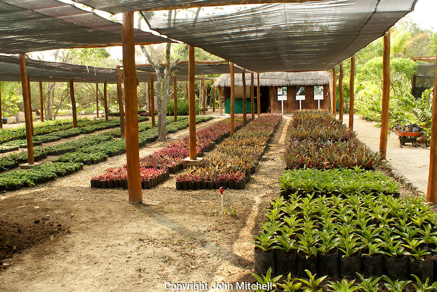 Palm tree and red mangrove seedlings at a plant nursery, Hacienda Tres Rios on the Riviera Maya, Quintana Roo, Mexicoo.