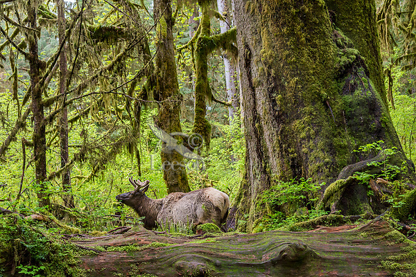 Roosevelt Elk (Cervus elaphus roosevelti) bull in velvet in Olympic National Park temperate rain forest, WA.  May.