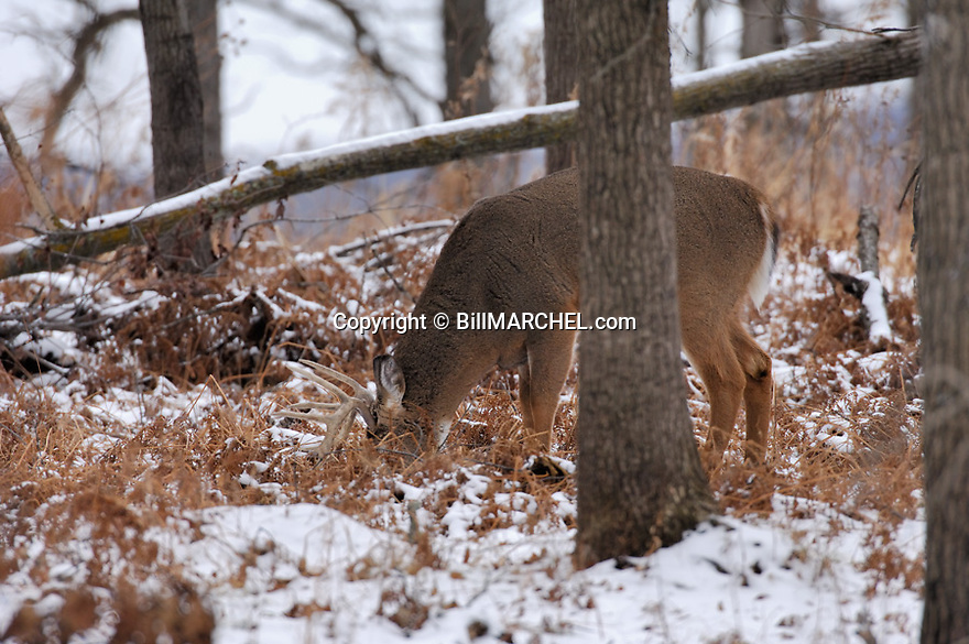 00274-309.11 White-tailed Deer Buck (DIGITAL) with 10 pt. antlers is feeding on acorns in oak forest after snow.  Hunting.  H4L1