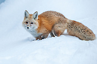 The Cascade fox is a race endemic to the Cascade Mountains.