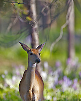 A mule deer doe who just walked out of the beauty parlor, the glory of early summer on display in the landscape.