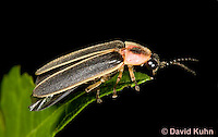 0109-0909  Lightning Bug (Fire fly or Firefly), Photinus spp. © David Kuhn/Dwight Kuhn Photography