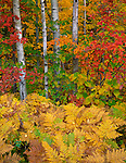 Apostle Islands National Lakeshore, WI<br /> Fall colored forest of birch, American hornbeam and bracken ferns