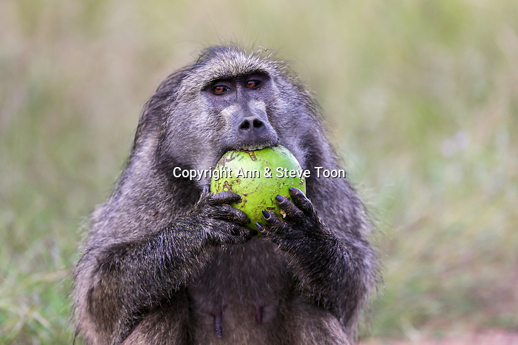 Chacma baboon (Papio ursinus) eating green monkey orange (Strychnos spinosa), Kruger national park, South Africa, May 2017