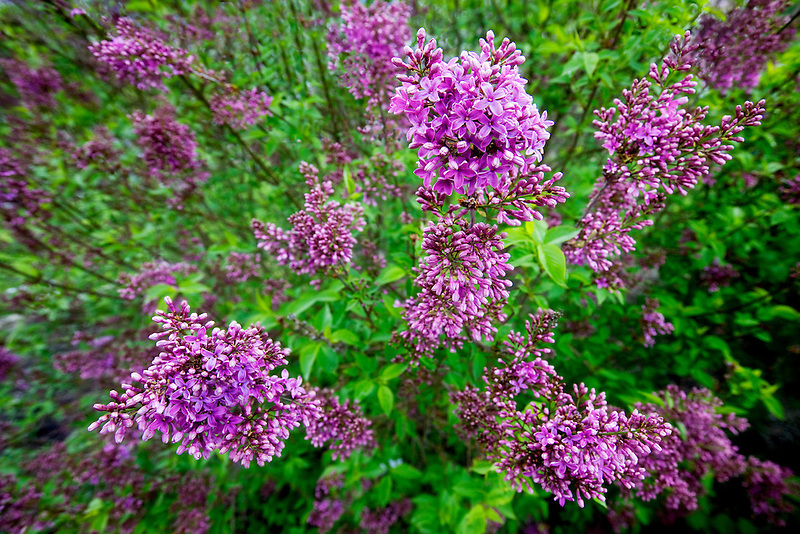 Chinese Lilac. Hulda Klager Lilac Gardens, Woodland, Washington