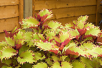Coleus 'Henna' aka 'Balcenna' Solenostemon annual foliage plant showing many yellow and red leaves and stems against wooden wall. RHS Award of Garden Merit AGM