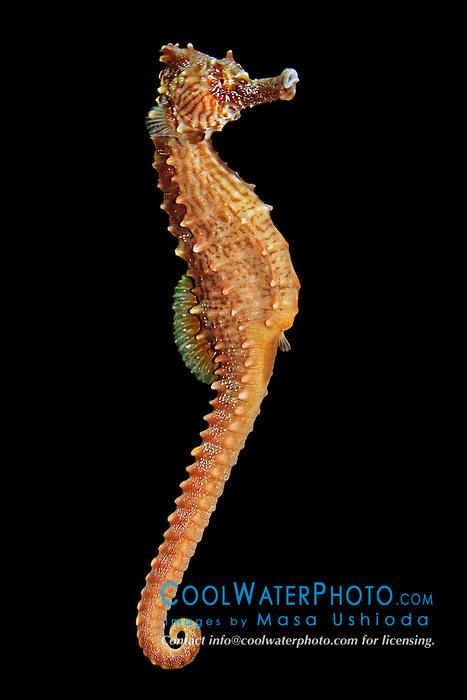 lined seahorse or northern seahorse, Hippocampus erectus, female, free swimming, Caribbean Sea, Western Atlantic Ocean (c)
