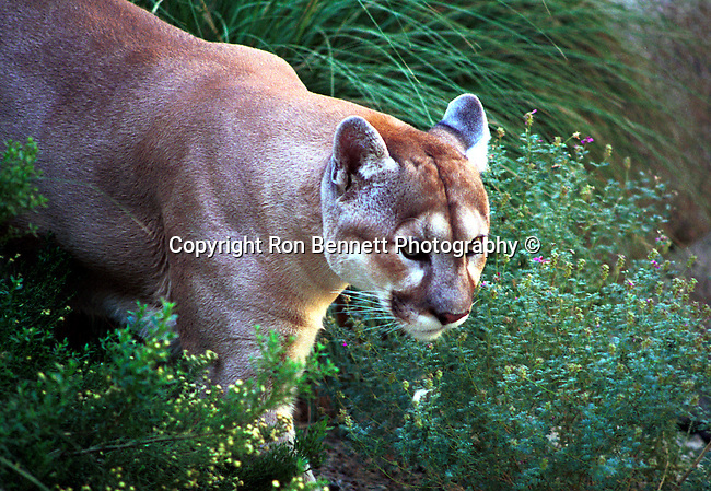 "Cougar, Mountain lion, puma, panther, feline, feline pantherinae, hunter-gatherers, Americas solitary cat found in Western Hemisphere is a solitary big cat ambush generalist predator, Fine art Photography and Stock Photography by Ronald T. Bennett Photography ©, FINE ART and STOCK PHOTOGRAPHY FOR SALE, CLICK ON  ""ADD TO CART"" FOR PRICING, Fine Art Photography by Ron Bennett, Fine Art, Fine Art photography, Art Photography, Copyright RonBennettPhotography.com ©"