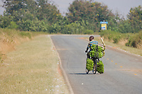 Man uses bicycle to transport large bunches of bananas for sale. Stick on back is for fending off baboons that try to take bananas. Uganda, Africa
