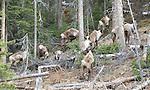 Wildlife - Caribou - Woodland/Mountain