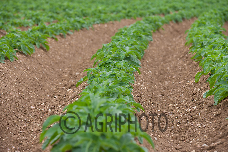 Potatoes in ridges<br /> Picture Tim Scrivener 07850 303986<br /> tim@agriphoto.com<br /> ?.covering agriculture in the UK?.
