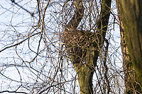 Eichhörnchen, Kobel, Nest, Sciurus vulgaris, Red squirrel, Écureuil d`Europe