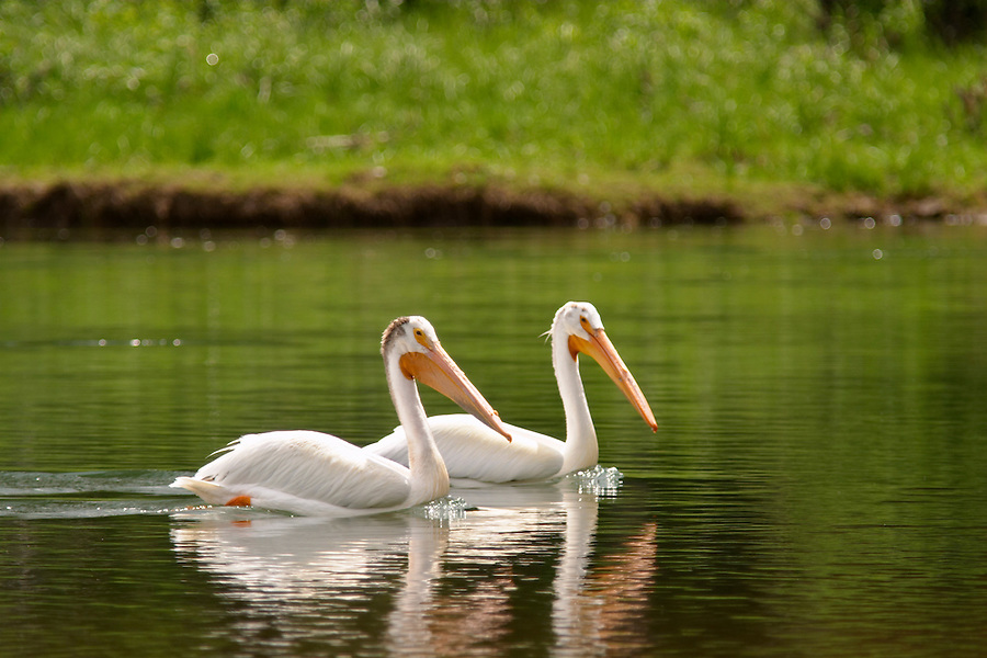 Two American white pelicans swiming in the Snake River, Oxbow Bend, Grand Teton National Park, Teton County, Wyoming, USA