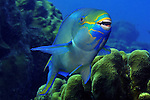 Queen parrotfish (Scarus vetula) Bonaire.