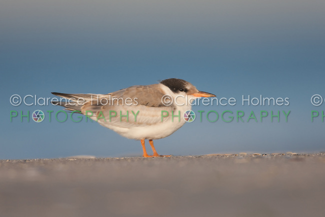 Common Tern (Sterna hirundo) - Juvenile, Nickerson Beach, Lido Beach, NY