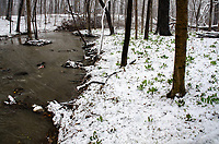 Hammel Creek flows towards the DuPage River just a few hundred feet downstream while snow covers emerging Virginia Bluebells (Mertensia virginica) in an April snowstorm, Hammel Woods Forest Preserve, Will County, Illinois