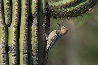 597910011 a wild male gila woodpecker melanerpes uropygialis perches at a cavity nest in a giant saguaro cactus carnegiea gigantea at catalina state park in tucson arizona united states
