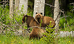 Three Grizzly bear cubs are seen here in a meadow in Banff National Park, Alberta, Canada.