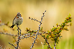 Rufous-collared Sparrow<br /> (Zonotrichia capensis), Torres del Paine National Park, Patagonia, Chile