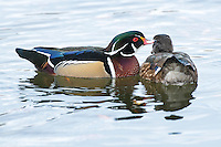 A wood duck preens a female on a pond near the Yellowstone River in Livingston, Montana.