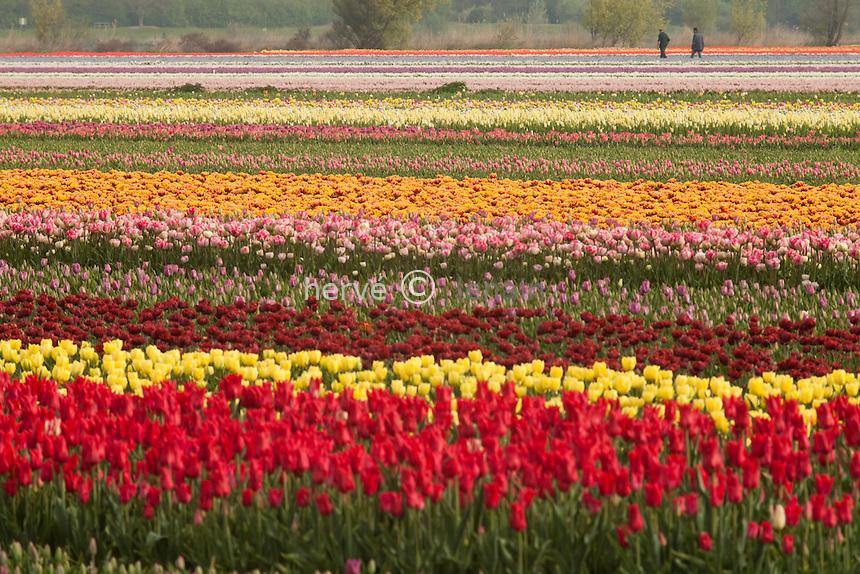 """Hollande, région des champs de fleurs, Lisse, champs de tulipes et jacinthes // Holland, """"Dune and Bulb Region"""" in April, Lisse, here, fields of tulips and hyacinths."""