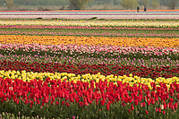 "Hollande, région des champs de fleurs, Lisse, champs de tulipes et jacinthes // Holland, ""Dune and Bulb Region"" in April, Lisse, here, fields of tulips and hyacinths."