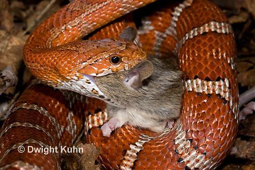 1R22-637z  Corn Snake, Banded Corn Snake, Elaphe guttata guttata or Pantherophis guttata guttata, catching and eating mouse