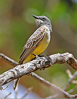 Western kingbird adult