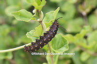 03004-01405 Pipevine Swallowtail butterfly (Battus philenor) caterpillar eating Dutchman's pipevine (Aristolochia macrophylla) Marion Co., IL